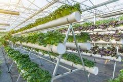 Organisches Gemüse im Gewächshaus Stockbild