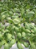 Organisches grünes Gemüse unter Verwendung der Wasser-Zirkulation lizenzfreies stockfoto