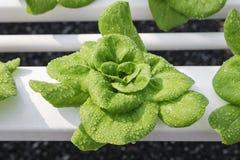Organisches grünes Naturprodukt des Wasserkulturgemüsebauernhofes Stockbilder
