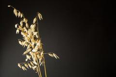 Organisches Haferohr des Kornes lokalisiert auf der Isolierung des schwarzen Hintergrundes, leerer Raum für Text lizenzfreies stockfoto