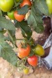 Organisches Jitomates, das gesund wächst stockbilder