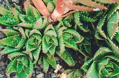 organisches Konzept: Anlage u. x28; cactuses& x29; Stockfotografie