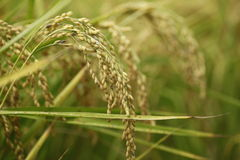 Organisches pflanzendes Reisfeld Stockbilder