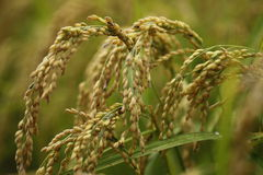 Organisches pflanzendes Reisfeld Lizenzfreies Stockfoto