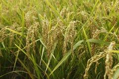 Organisches pflanzendes Reisfeld Lizenzfreies Stockbild