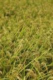 Organisches pflanzendes Reisfeld Stockfoto