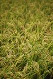 Organisches pflanzendes Reisfeld Stockfotografie