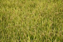 Organisches pflanzendes Reisfeld Lizenzfreie Stockbilder