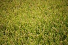 Organisches pflanzendes Reisfeld Stockbild