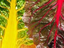 Organisches Regenbogen-Mangoldgemüse Stockbilder