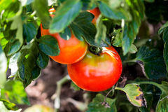 Organisches Tomatenfeld lizenzfreie stockbilder
