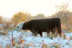 Organisches Vieh Lizenzfreies Stockbild