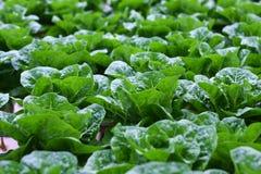 Organisches Wasserkulturgemüse Stockfoto