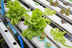 Organisches Wasserkulturgemüsegarten Thailand-merket Stockfoto