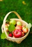organisk äpplekorg royaltyfri foto