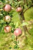 Organisk äppletree Royaltyfri Bild