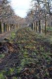Organisk befruktning av en äpplefruktträdgård arkivbilder