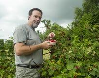 Organisk bonde Picking Raspberries With en inkommande stormrullning Arkivfoton