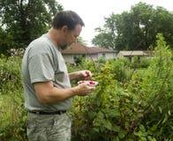 Organisk bonde Picking Red Raspberries Royaltyfri Foto