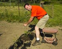 Organisk bonde Putting On en tomatbur Fotografering för Bildbyråer
