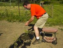 Organisk bonde Putting On en tomatbur Arkivfoto