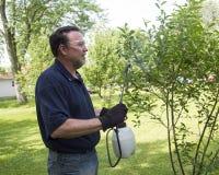 Organisk bonde Spraying en Cherry Tree With en organisk sprej Royaltyfria Bilder