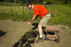 Organisk bonde With Sun Glasses som sätter på tomatbur Royaltyfri Foto