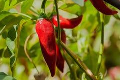 Organisk chilipeppar planterar växande glödheta peppar i en grönsakträdgård på solig dag Royaltyfri Fotografi