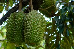 Organisk durian i rayong Arkivfoto