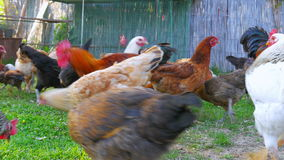 organisk feg lantgård, inhemskt fält för fågelungeboskaplantbruk, grönt gräs arkivfilmer