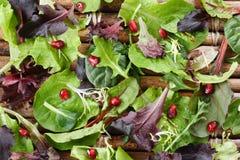 organisk fjäder för grönsallatmix Arkivfoto