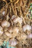 Organisk garlics Royaltyfria Bilder