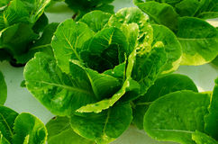 Organisk grönkål Royaltyfri Foto