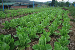 organisk grönsak 05 Royaltyfri Fotografi