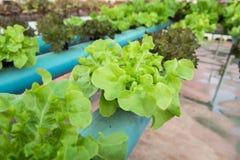 Organisk grönsaklantgård för grönsallat Arkivfoto
