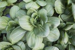 Organisk grönsaklantgård för grönsallat Fotografering för Bildbyråer