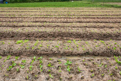 Organisk grönsakträdgård Arkivfoton