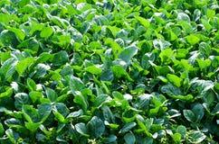 Organisk grönsakträdgård i Thailand Royaltyfria Foton