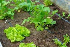 Organisk grönsakträdgård med bevattning Arkivbild