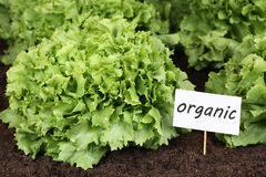 Organisk grönsallat i grönsakträdgård arkivbild