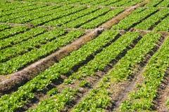 Organisk grönsallatträdgård Arkivfoto