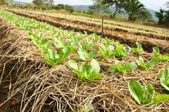 organisk grönsak för jordbruksmarkfreah Royaltyfri Bild