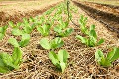 organisk grönsak för lantgård Royaltyfria Foton
