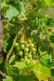 Organisk grupp av druvor på en vinranka Royaltyfria Foton