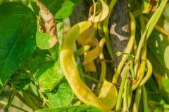 Organisk gul hängning för radbönor Arkivfoton