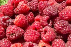 Organisk hallonfrukt för närbild Royaltyfri Foto