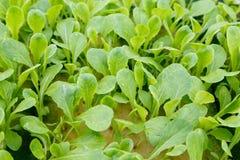 Organisk hydroponic grönsakodlinglantgård arkivfoto
