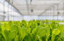 Organisk hydroponic grönsakodlinglantgård arkivfoton