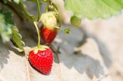 organisk jordgubbe Royaltyfria Bilder