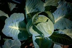Organisk kål i trädgården Fotografering för Bildbyråer
